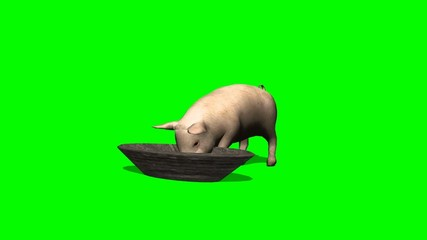 pig eat from trough - green screen