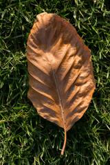 foglia di faggio in autunno