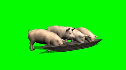 pigs eat from trough - green screen