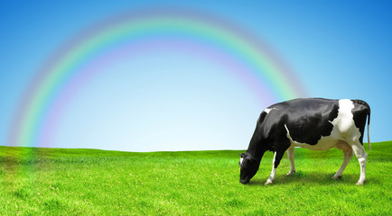 The cow is grazed on a green field after a rain.