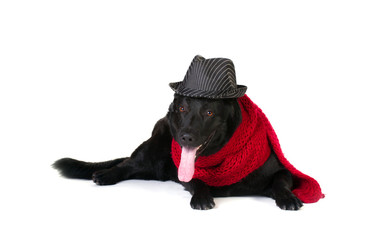 dog in fashion hat and  muffler