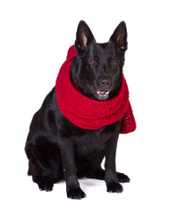 german shepherd in  scarf