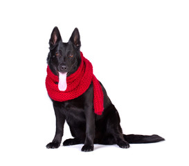 dog in red scarf