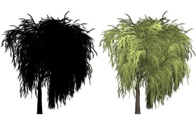 Weide willow