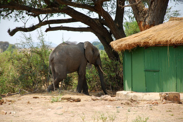 An elephant between the bungalows in the savannah-Tanzania-Afric