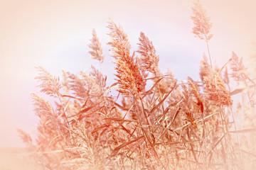 Dry reed in meadow- field