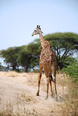 One day of Safari in Ruaha Park in Tanzania-Africa