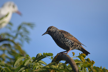 common starling in tree