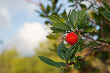 strawberry tree, cane apple (Arbutus unedo)