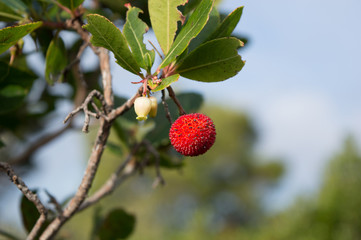 strawberry tree, cane apple (Arbutus unedo)