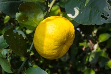 lime tree (lemon tree)