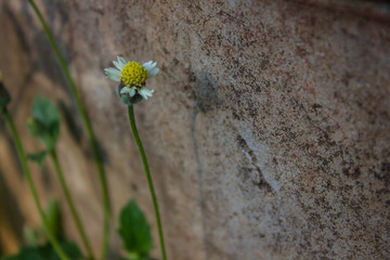 Mexican daisy, Coat buttons (Tridax procumbens L.)
