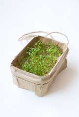 Cress sprouts on a white background