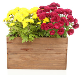 Chrysanthemum bush in wooden box isolated on white
