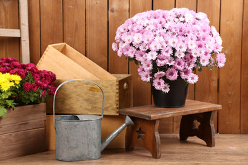 Chrysanthemum bush in pot on wooden wall background
