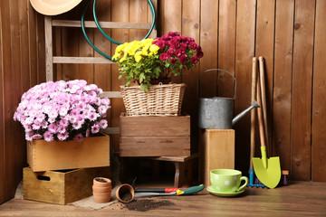 Chrysanthemum bush in wooden boxes, tools for gardening
