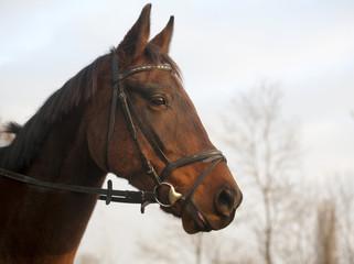 Portrait of a Furioso North Star breed bay horse