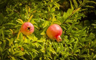 Granatapfel, Granatapfelbaum, Grenadine, Herbst, Italien