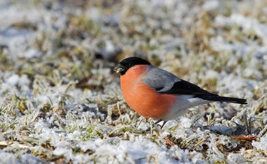 Bullfinch on the covered hoarfrost earth