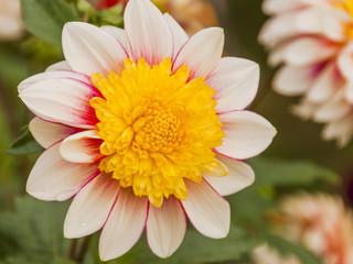 Herbstblume, Herbstfest, Dahlie, Herbst, Schweizer Garten