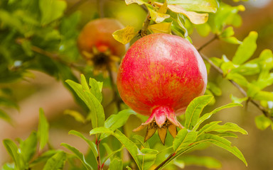 Granatapfel, Granitapfelbaum, Obstbaum, Herbst, Italien