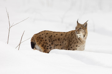 European Lynx (Lynx lynx) in the snow