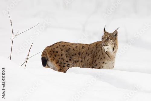 Canvas Lynx European Lynx (Lynx lynx) in the snow