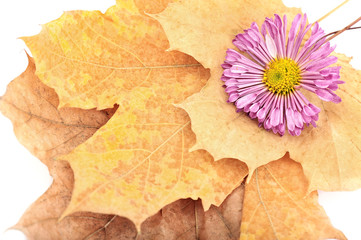 purple chrysanthemums on yellow autumn leaves