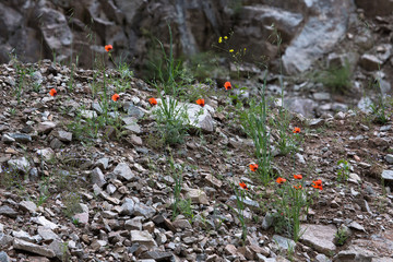 Red flowers among the stones