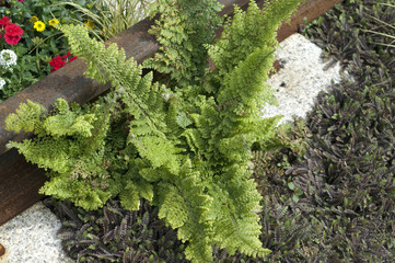 Grabbepflanzung, Krauser Wurmfarn, Dryopteris, filix-mas,