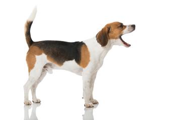 Gähnender Hund