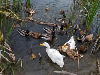 Doğal Ortamda Ördekler