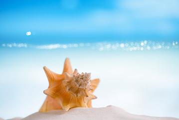 cuban sea  shell on white Florida beach sand under the sun light