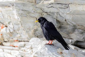 Gracchio alpino su roccia - Pyrrhocorax graculus