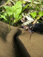 Gray grasshopper on the gray background