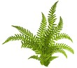 Green leaves of fern isolated on white - 73807683