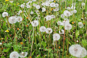 white dandelions background