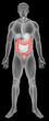 ������, ������: The large intestine