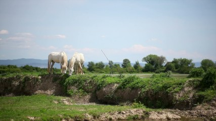 Herd of wild Camargue horses, Soca River Mouth. Italy