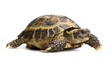 tortoise closeup isolated on white - Fine Art prints