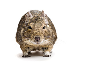 fat hamster front view isolated on white