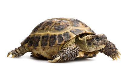 tortoise closeup isolated on white