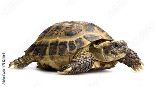 In de dag Schildpad tortoise closeup isolated on white