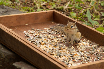 cute chipmunk eating sunflower seeds