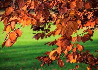 Rote Blätter der Blutbuche im Herbst