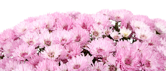 Chrysanthemum flowers isolated on white