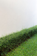green shrub fence in garden with cement crack wall background