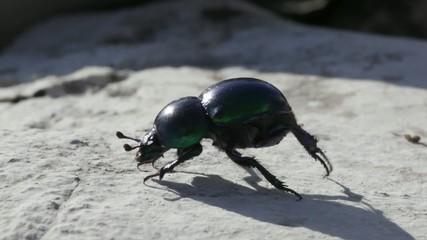 Beetle in the rock