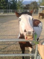 Smiled horse, cavallo che ride