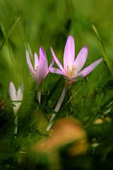 Meadow saffrone in blossom